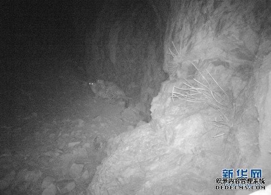 科研人员在黄河源地区拍摄到雪豹求偶交配影像