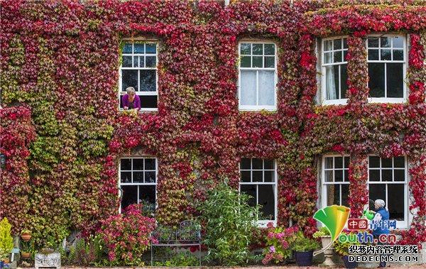 红叶漫漫秋意无尽 英国乡间别墅外爬满117岁爬山虎
