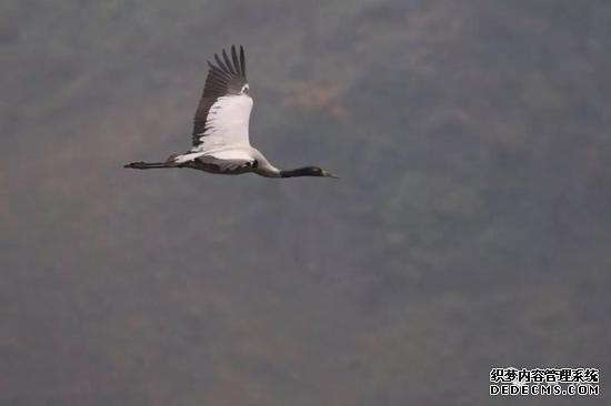 首次!马边境内发现国家一级保护动物黑颈鹤